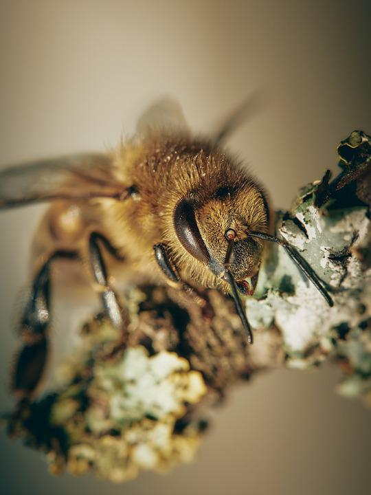 Bee, Insect, Antennae, Honey Bee, Fauna, Garden, Nature