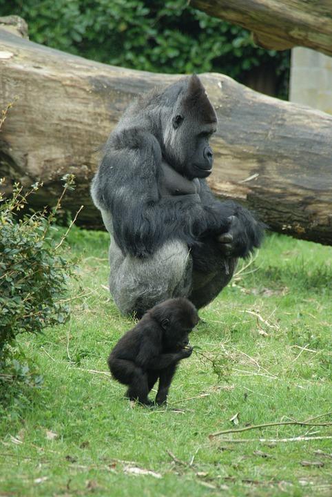 Monkey, Gorilla, Zoo, Animals, Fauna, Baby Gorilla