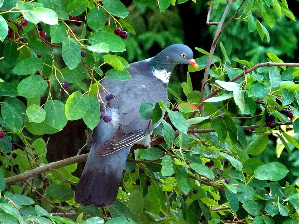 Dove, Ringdove, Field Deaf, Bird, Fauna, Nature, Animal