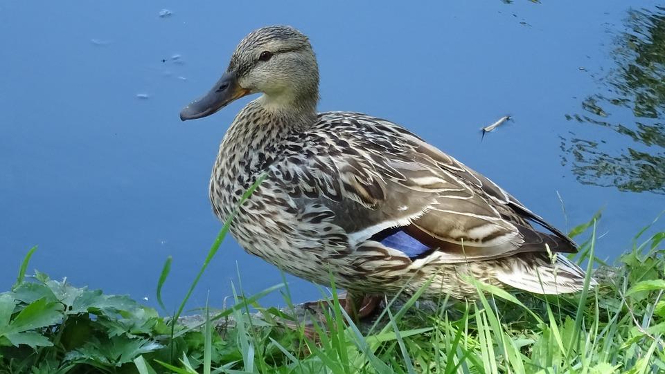 Nature, Bird, Duck, Fauna, Animal, Water
