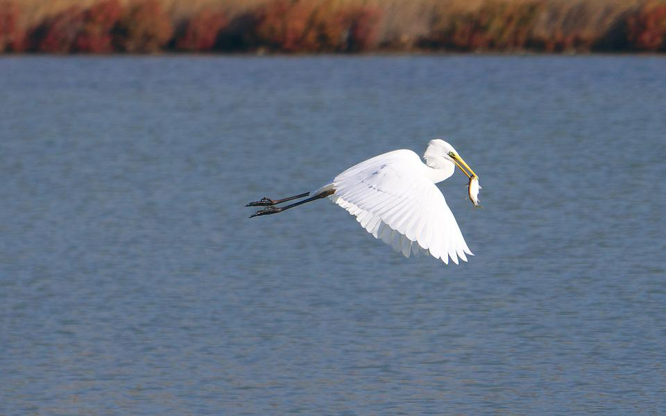Animals, Fauna, Birds, Egret