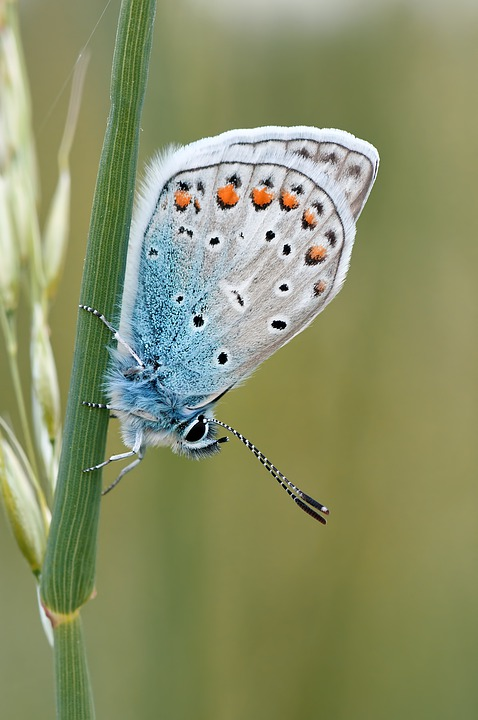 Butterfly, Insect, Nature, Common Blue, Animal, Fauna