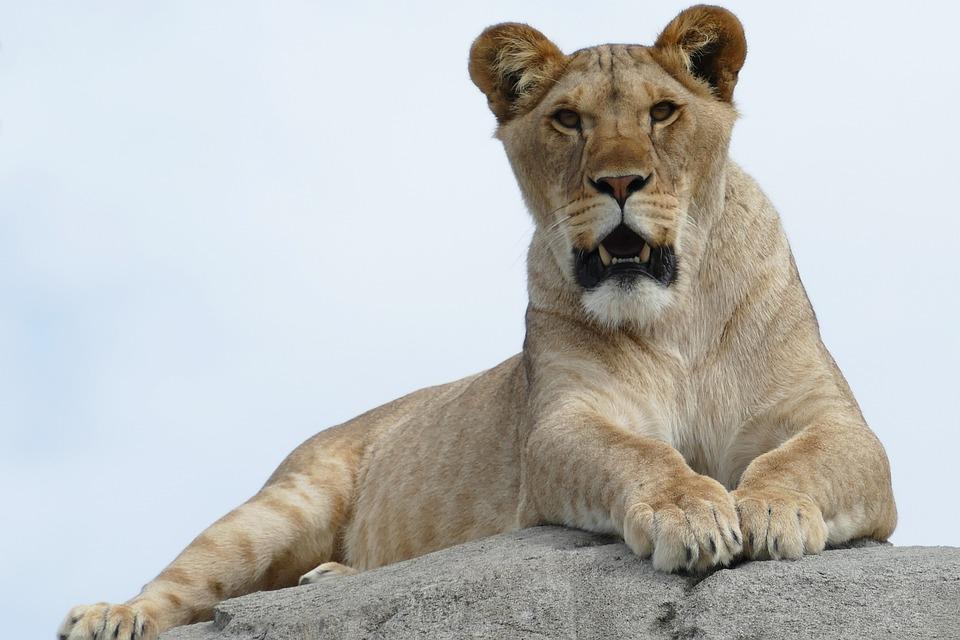 Lioness, Predator, Mammal, Fauna, Africa, Cat-like