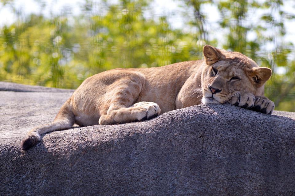 Mammal, Animal, Fauna, Cat, Nature, Lion, Savannah