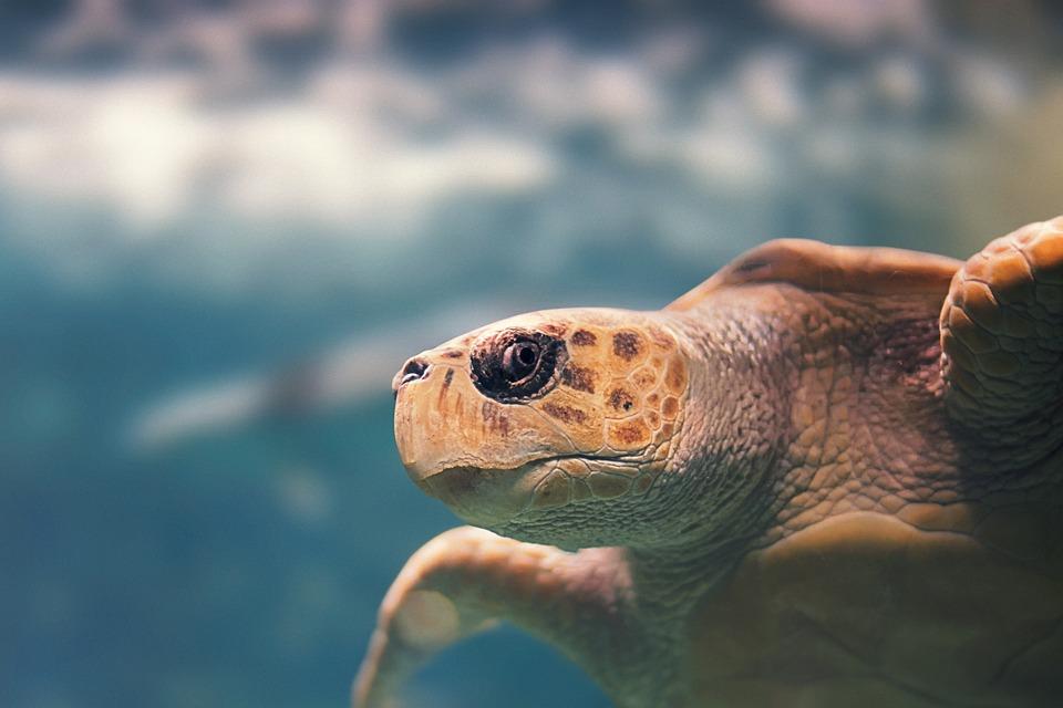 Turtle, Animal, Reptile, Carapace, Sea, Fauna, Ocean