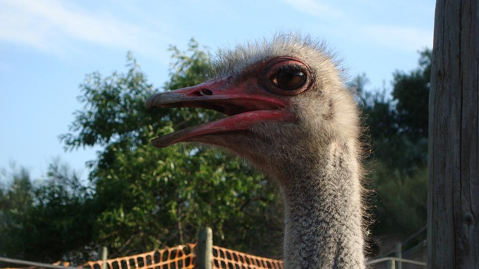 Ostrich, Ave, Animal, Animal World, Fauna, Neck, Peak