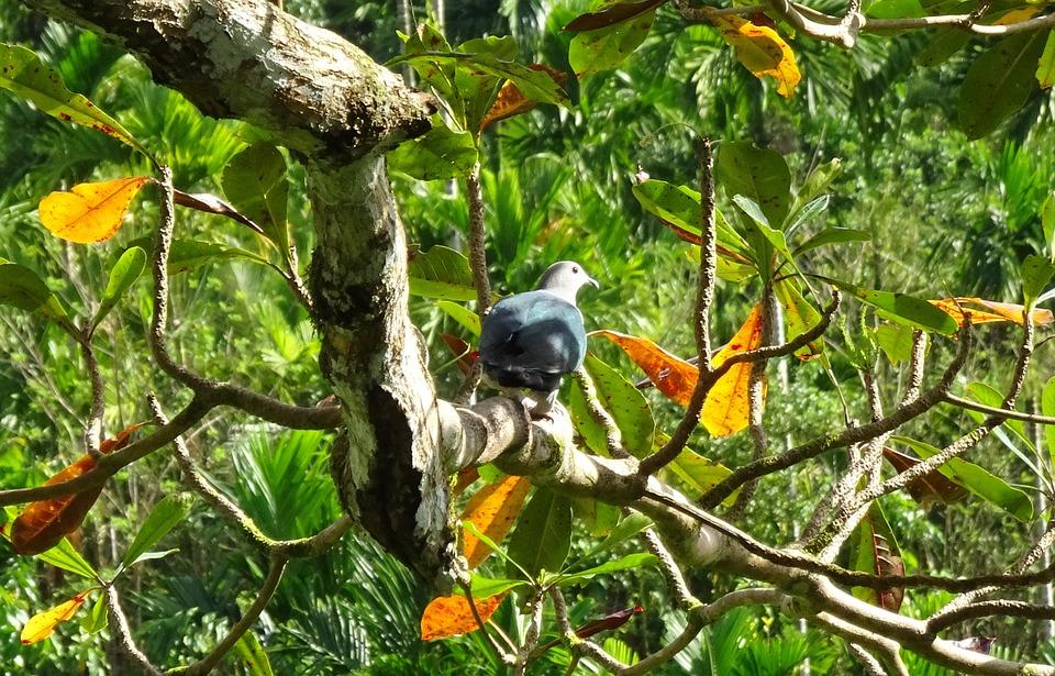 Bird, Pigeon, Andaman Green Pigeon, Imperial, Fauna