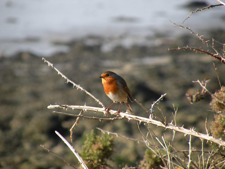 Robin, Bird, Branch, Fauna
