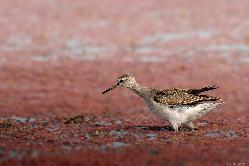 Birds, Wildlife, Sandpiper, Animal, Nature, Fauna