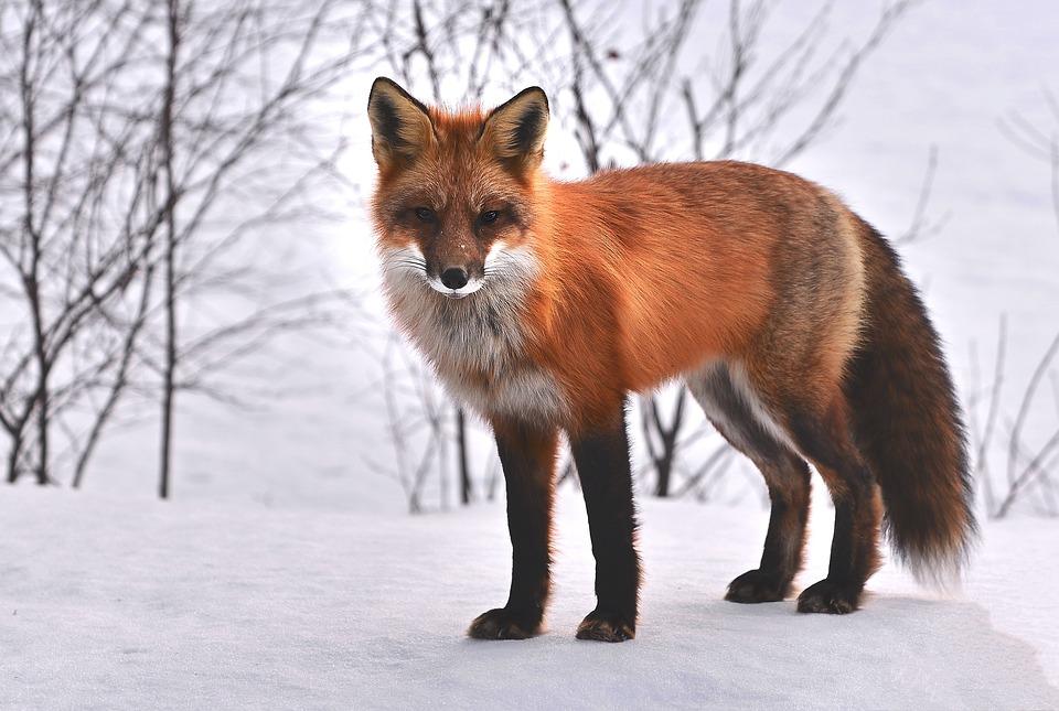 Fox, Nature, Animals, Roux, Fauna, Wild Animal, Snow