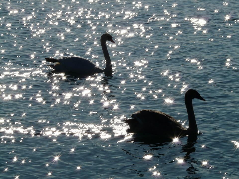 Swan, Swans, Animal, Fauna, Water, Waters, Backlighting