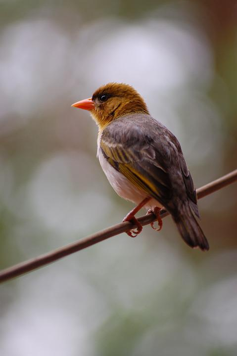 Weaver, Bird, Perched, Avian, Fauna, Avifauna