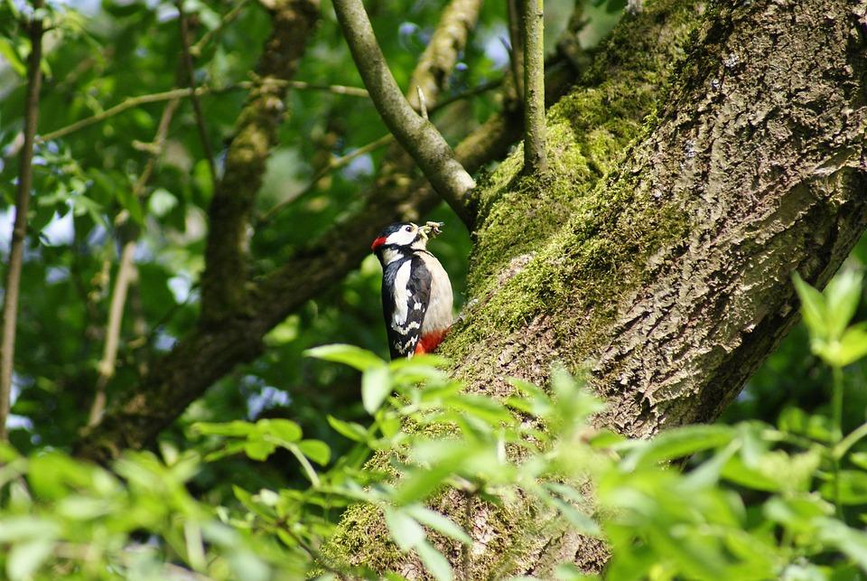 Great Spotted Woodpecker, Woodpecker, Fauna, Animal