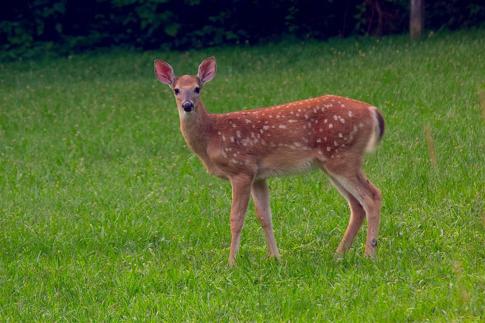 Fawn, Deer, Wildlife, Animal, Nature, Cute, Mammal