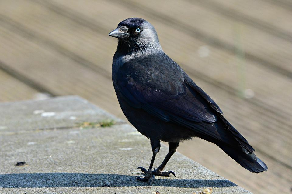 Jackdaw, Bird, Animal, Corvidae, Feather, Plumage, Beak
