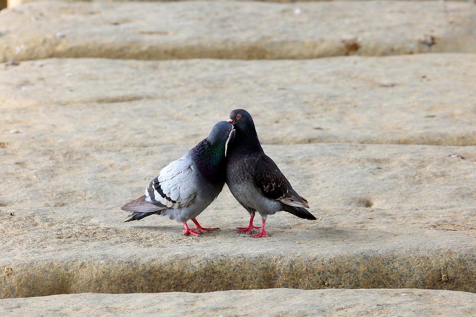 Pigeon, Birds, Animal, New, Beak, Love, Feather