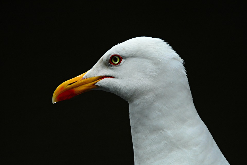 Sea Gull, Sea Bird, Animal, Feather, Plumage, Beak, Eye