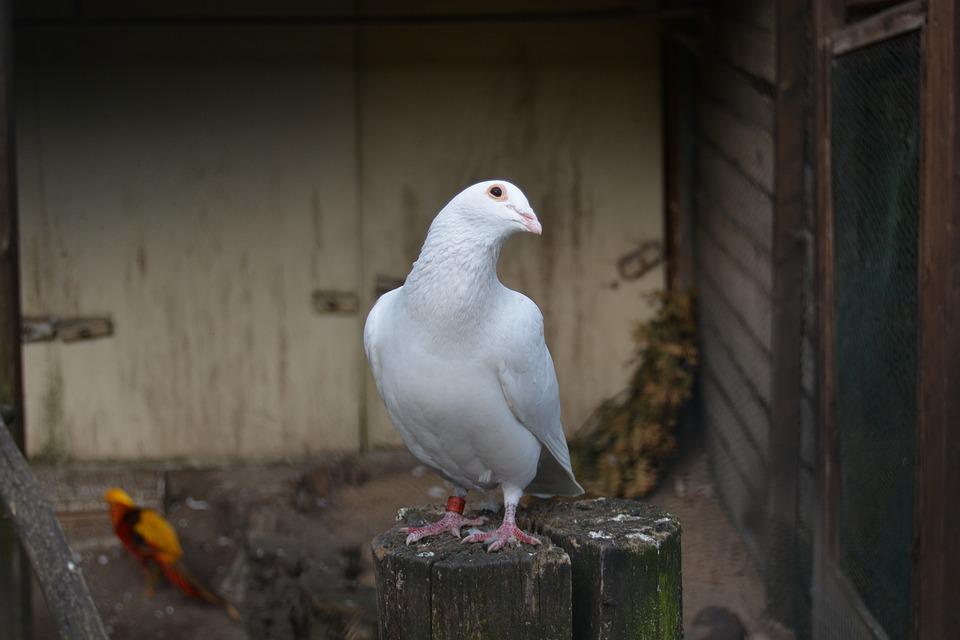 Dove, White, Animal, Bird, Beautiful, Feather, Zoo