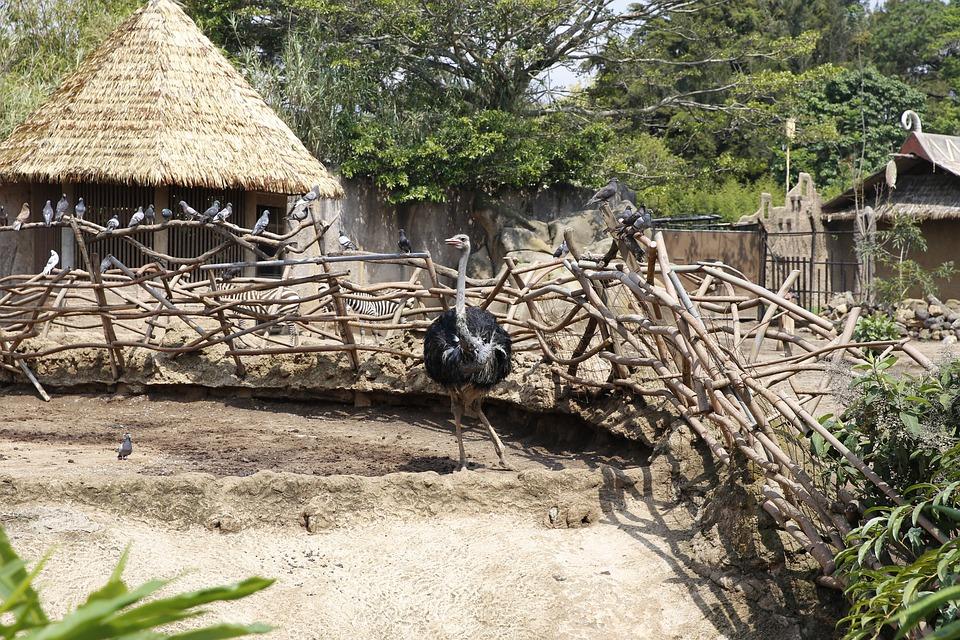 Ostrich, Animal, Bird, Nature, Head, Africa, Feather