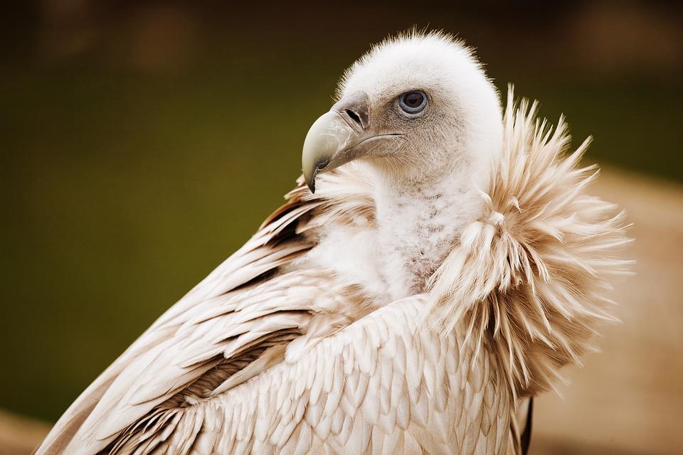 Animal, Beak, Bird, Feather, Feathers, Scavenger