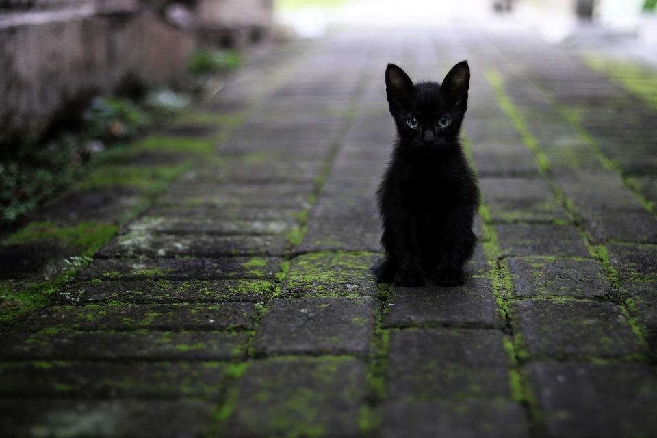 Cat, Black, Animals, Pet, Feather, Star