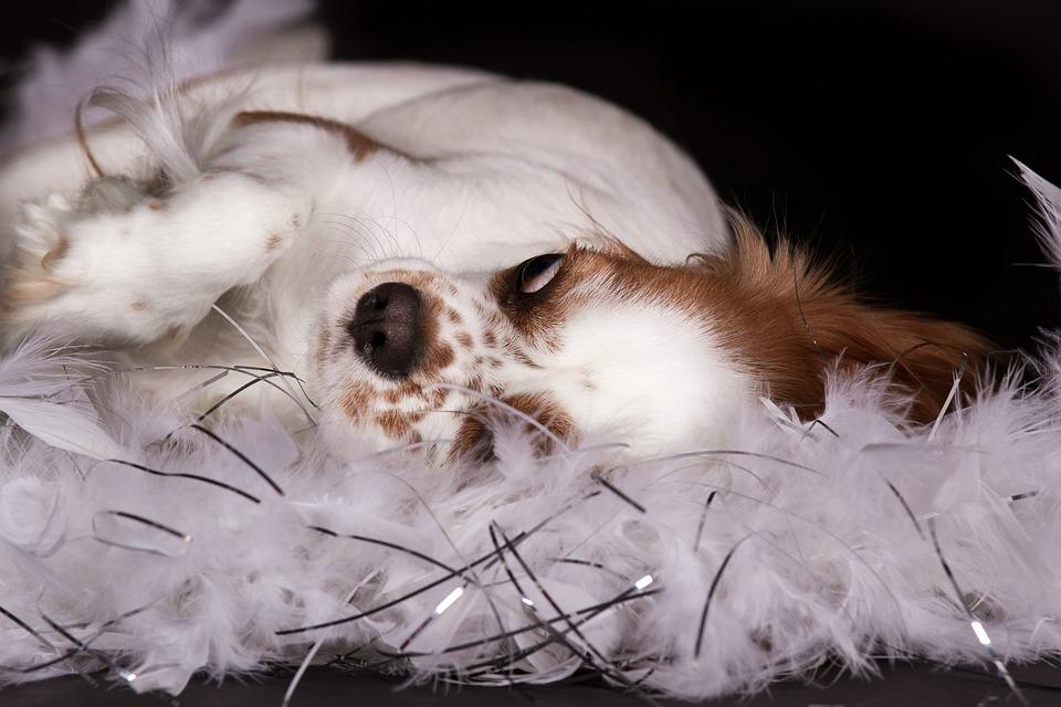 Dog, Cavalier King Charles Spaniel, Lying, Feather Boa