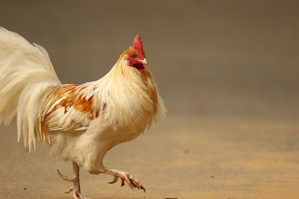 Chicken, Rooster, Bird, Poultry, Feather, Walking