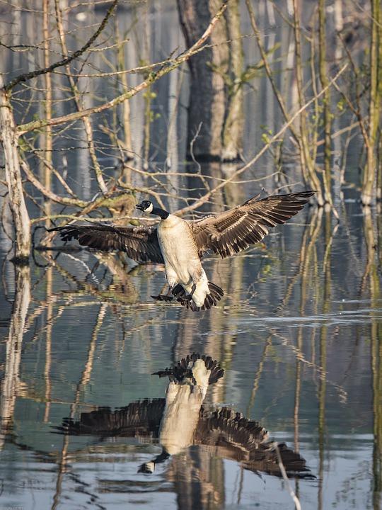Duck, Flying, Bird, Wing, Animal, Flight, Feather