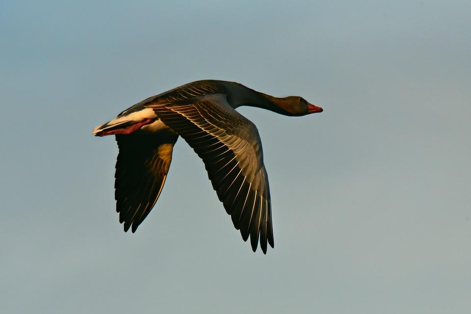 Goose, Bird, Animal, Flight, Flying, Wing, Feather
