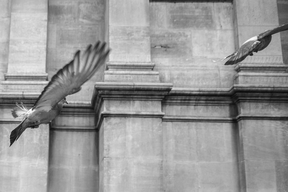 Pigeon, Bird, Flying, Dove, Nature, Feather, Wing