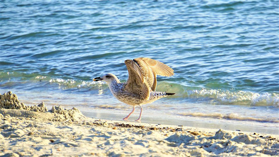 Seagull, Bill, Food, Wing, Feather, Beach