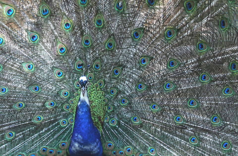 Peacock, Four Spot, Feather, Bird, Colorful, Color