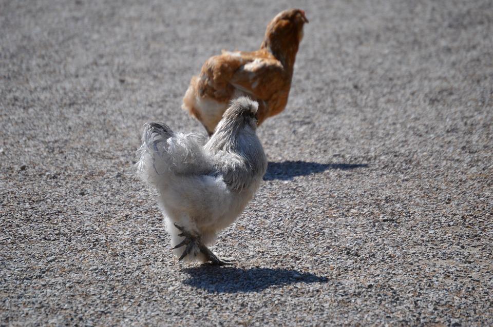 Seidenhuhn, Plumage, Funny, Cute, Bird, Feather