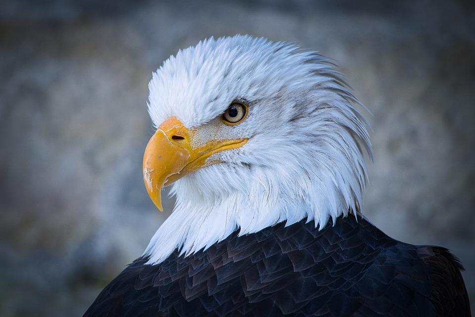 Adler, Head, Bird Of Prey, Eagle Head, Feather, Plumage