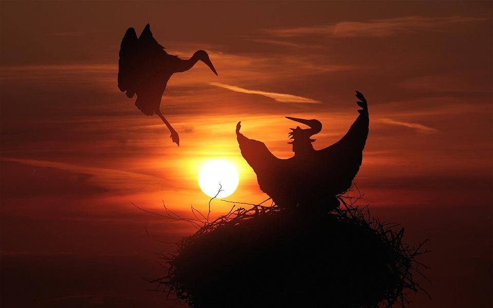 Storks, Nest, Sunset, Animals, Stork, Nature, Feather
