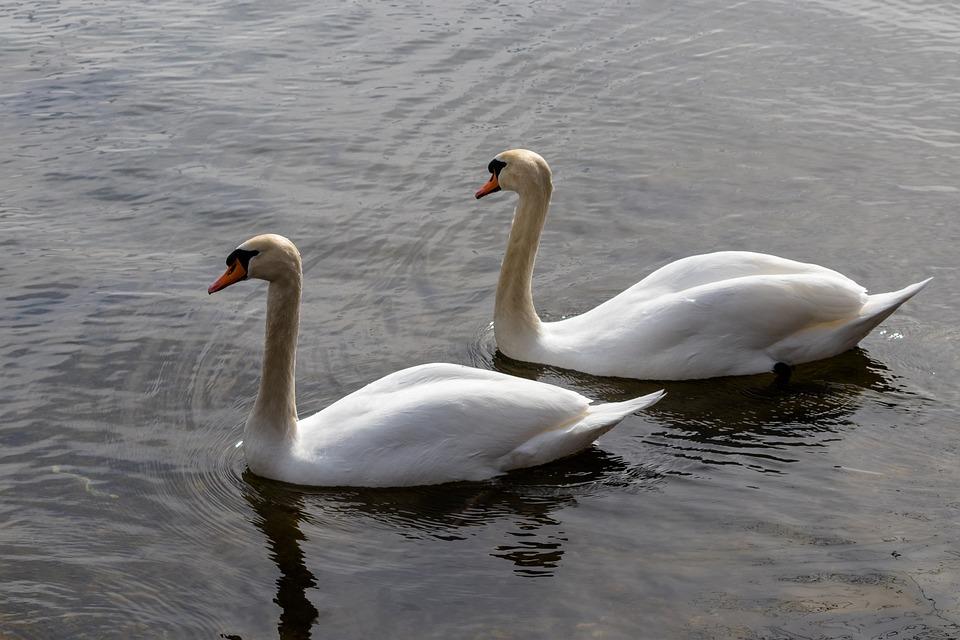 Bird, Swan, Waters, Feather, Nature, Water Bird, Swim