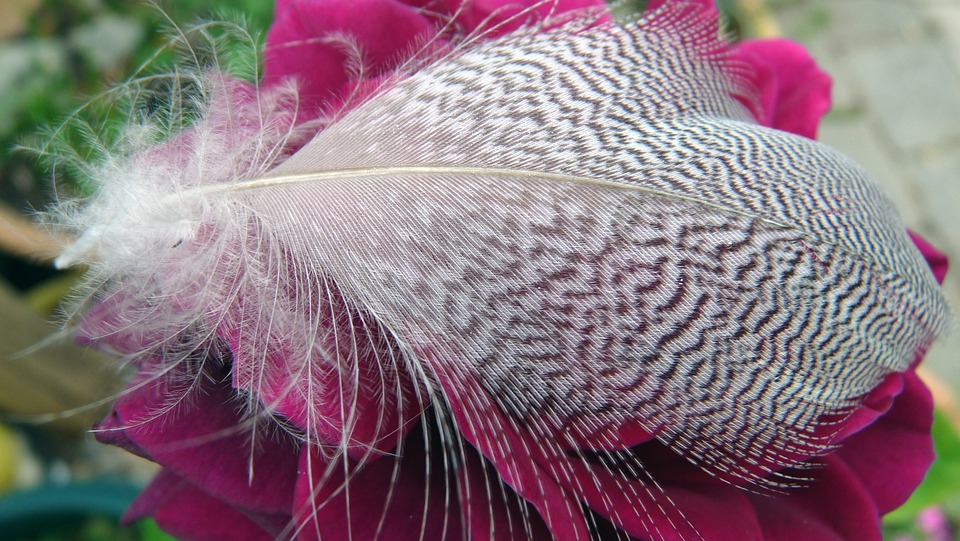 Feather, On, Rose