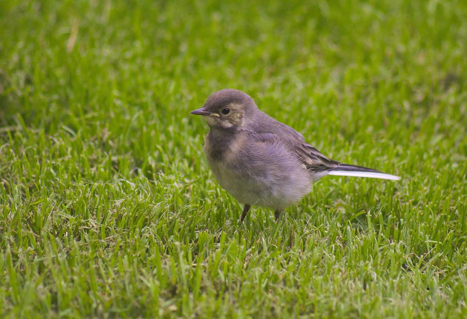 White Wagtail, Bird, Standing, Cute, Feather, Outdoors