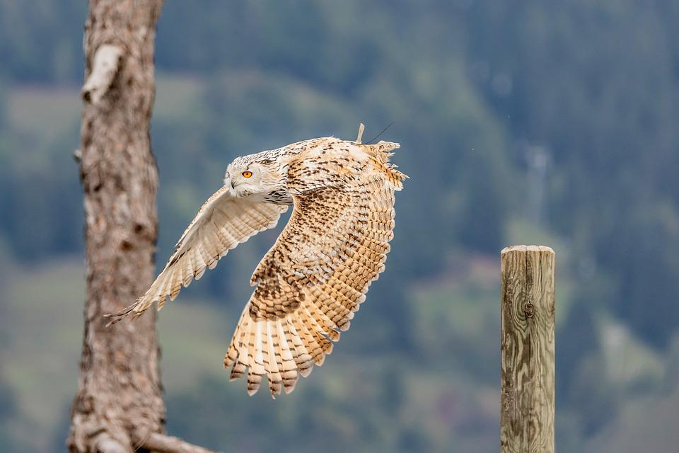 Snowy Owl, Raptor, Owl, Plumage, Feather