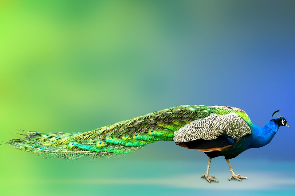 Animal World, Peacock, Bird, Feather, Pride, Colorful