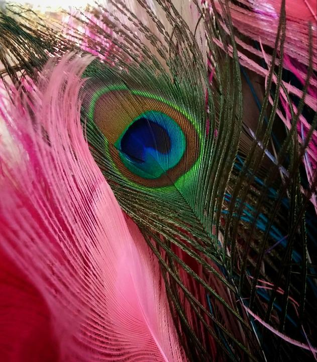 Peacock, Feather, Nature, Bird, Pink