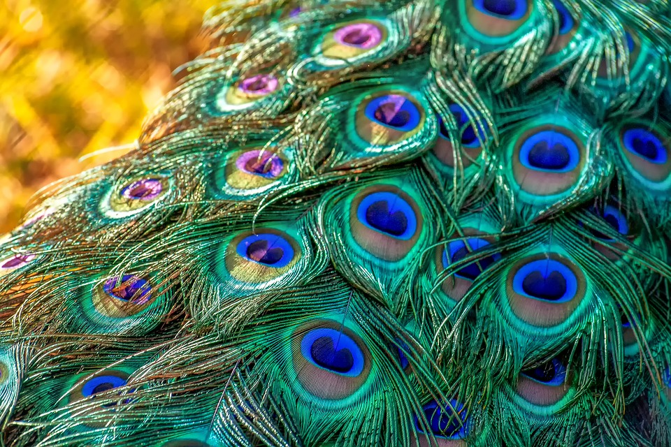Peacock, Peacock Feathers, Feather, Nature, Shiny