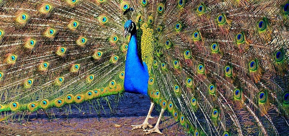 Peacock, Peacock Wheel, Bird, Feather, Spread, Beat Rad