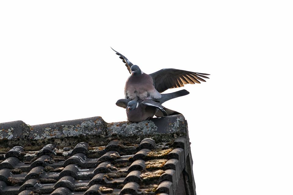 Pigeons, Birds, Bird, Feather, Nature, Animal, Wing