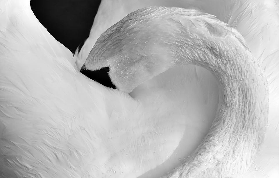 Swan, Feather, Plumage, Black And White, Water Bird