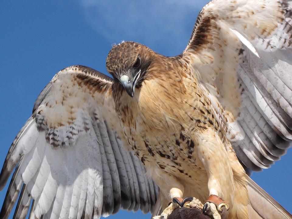 Hawk, Predator, Raptor, Wildlife, Wild, Feather, Bird