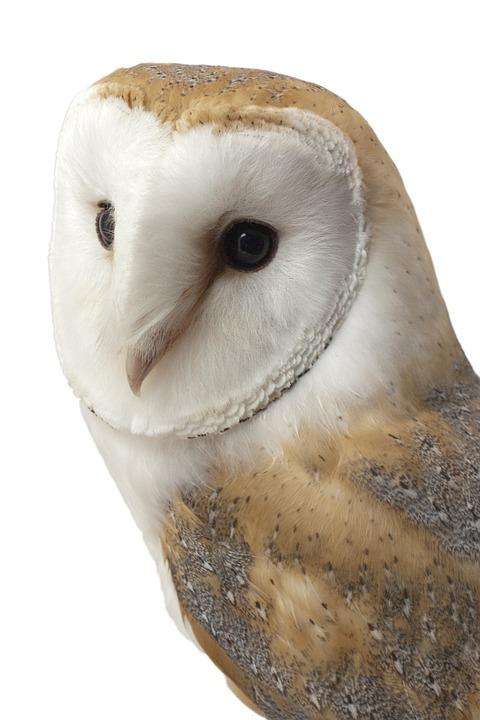 Barn Owl, Bird, Animal, Wild, Beak, Prey, Feather