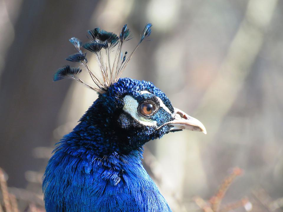 Peacock, Portrait, Blue, Feather, Shimmer, Iridescent