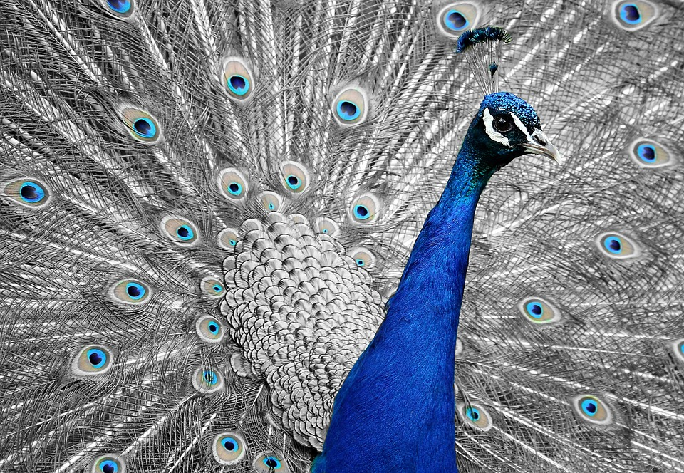 Peacock, Animal, Bird, Feather, Vanity, Iridescent