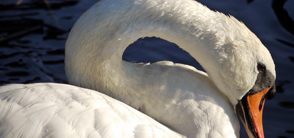 Swan, Feather, Neck, Bird, Water Bird, Lake, White Swan